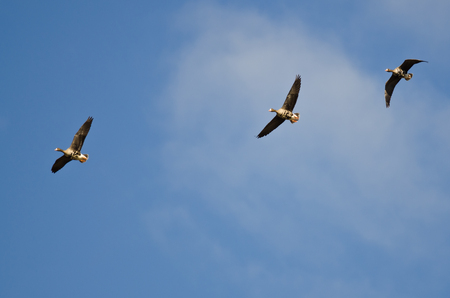 greater: Three Greater White-Fronted Geese Flying in a Blue Sky