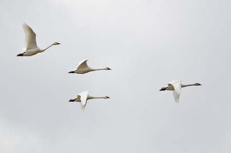 tundra swan: Four Tundra Swans Flying on a Light Background Stock Photo