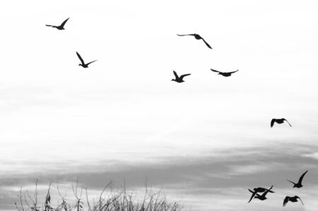 mallard duck: Flock of Ducks Silhouetted on a White Background