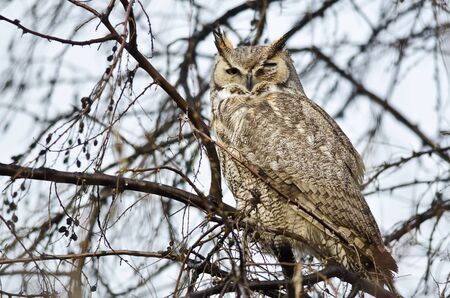 horned: Great Horned Owl with an Injured Eye