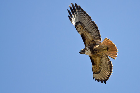 belly band: Red-Tail Hawk Flying in a Blue Sky Stock Photo