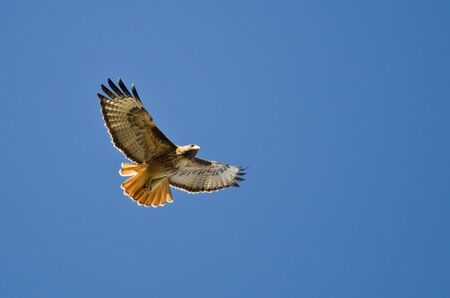 Red-Tail Hawk Flying in a Blue Sky Stock Photo