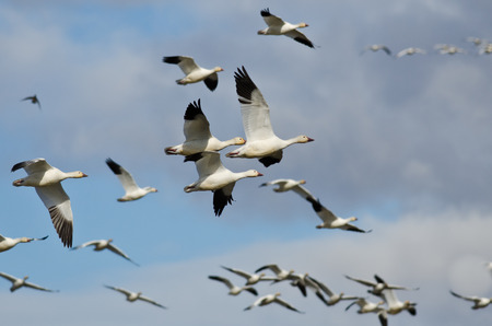Flock of Snow Geese Flying in a Cloudy Sky Imagens