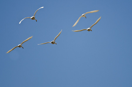 tundra swan: Five Tundra Swans Flying in a Blue Sky Stock Photo