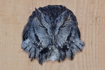 Evil Looking Western Screech-Owl Peering Out From a Nesting Box photo