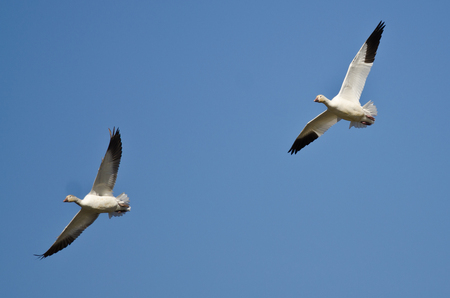 Pair of Snow Geese Flying in a Blue Sky Stock Photo