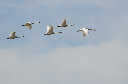 tundra swan: Flock of Tundra Swans Flying High Above the Clouds Stock Photo