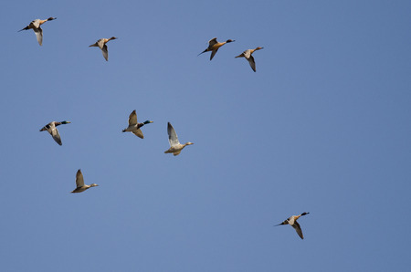 circling: Flock of Ducks Flying in a Blue Sky