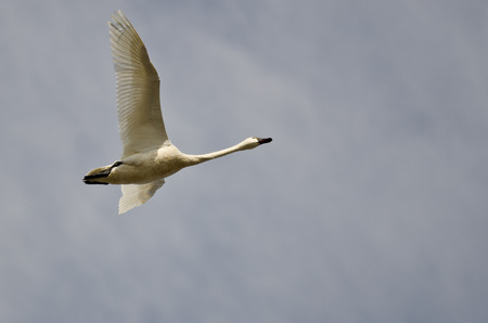 tundra swan: Lone Tundra Swan Flying in a Cloudy Sky Stock Photo
