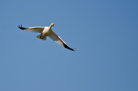 lone: Lone Snow Goose Flying in a Blue Sky Stock Photo