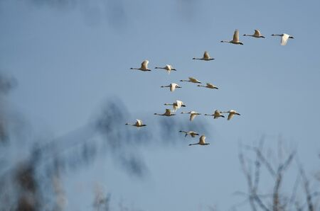 tundra swan: Large Flock of Tundra Swans Flying Over the Marsh