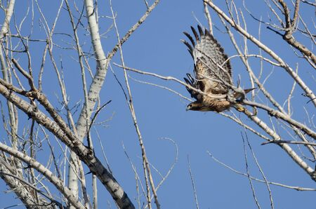 belly band: Red-Tailed Hawk Flying Among the Trees