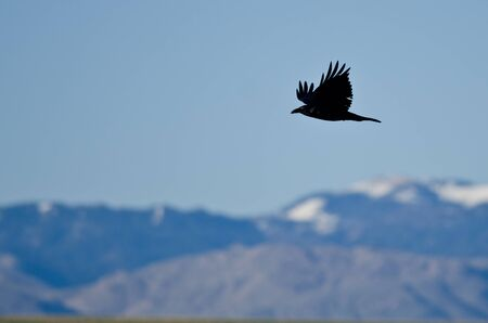 snow covered mountains: Black Common Raven and Snow Covered Mountains