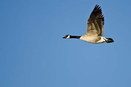 canada goose: Lone Canada Goose Flying in a Blue Sky