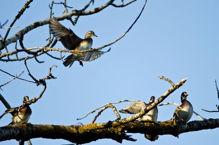 animal limb: Female Wood Duck Joining the Party on the Tree Limb