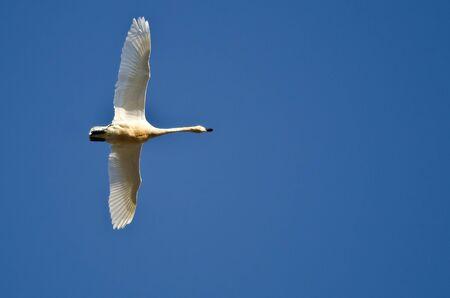 tundra swan: Lone Tundra Cisne volando en un cielo azul