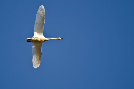 tundra swan: Lone Tundra Swan Flying in a Blue Sky Stock Photo