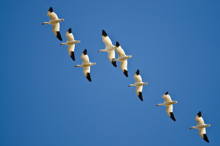 Flock of Snow Geese Flying in a Blue Sky