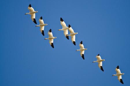 Flock of Snow Geese Flying in a Blue Sky Reklamní fotografie - 39349026