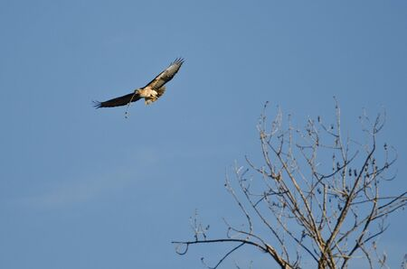 redtail: Nest Building Time for the Red-Tail Hawk