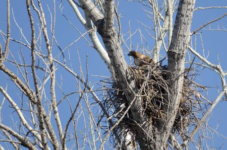belly band: Red-Tailed Hawk Sitting On Its Nest in Spring Stock Photo