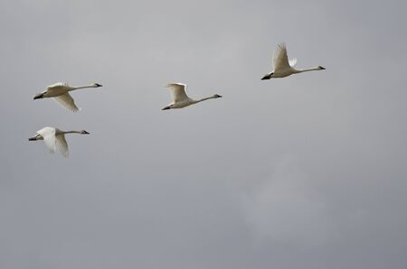 Four Tundra Swans Flying in a Cloudy Sky