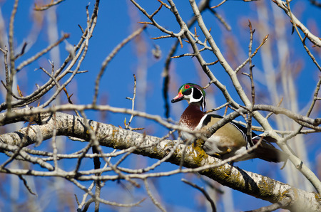 perched: Male Wood Duck Perched in a Tree