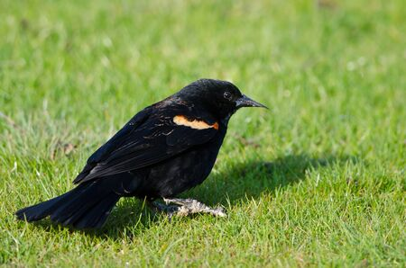 red winged: Red-Winged Blackbird Resting on the Green Grass