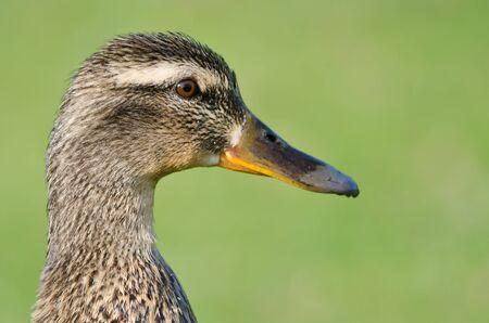 female mallard duck: Close Profile of Female Mallard Duck on a Green Background Stock Photo