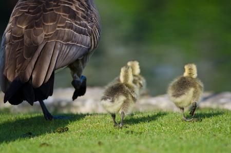 alongside: Three Adorable Little Gosling Running Alongside of Mom Stock Photo