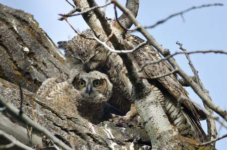 groomed: Young Owlet Making Eye Contact While Being Groomed by Mom Stock Photo