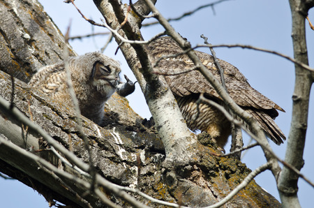 bird eating raptors: Young Owlet Devouring a Rodent Brought by Its Parent