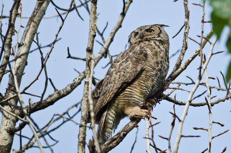 Great Horned Owl Scanning Across the Tree Tops Фото со стока