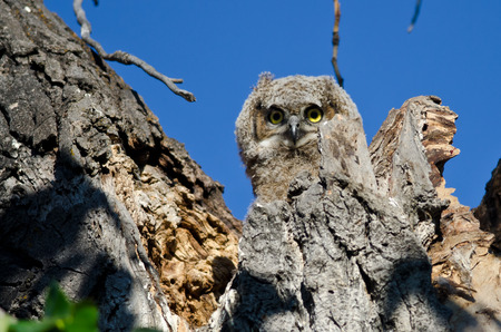 eye contact: Adorable Young Owlet Making Direct Eye Contact With You From its Nest