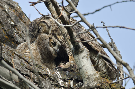 owlet: Young Owlet Being Groomed by Mom