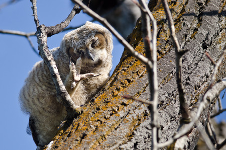 talon: Young Owlet Scratching its Eye with its Talon While Perched in a Tree