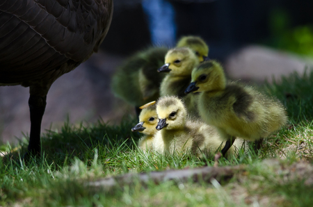 hatchling: Newborn Goslings Staying Close to Mom Stock Photo