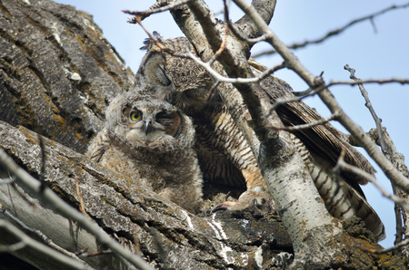 groomed: Young Owlet Being Groomed by Mom
