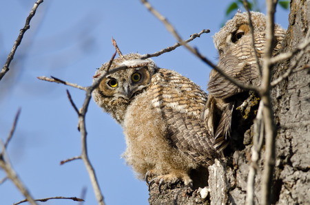 owlet: Young Owlet Making Direct Eye Contact From Its Nest