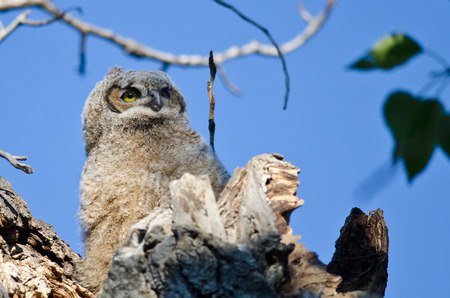 owlet: Young Owlet High In Its Nest Looking Across The Tree Tops