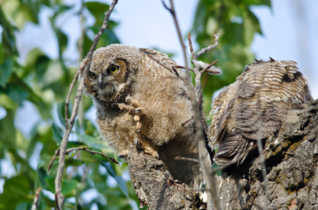owlet: Young Owlet Peering in the Distance with Claw Extended
