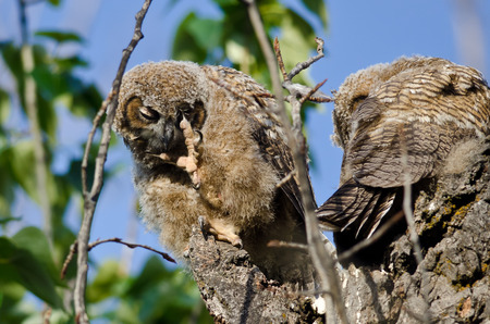 owlet: Young Owlet Scratching Its Eye With Its Sharp Claw