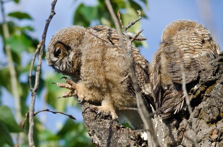 owlet: Young Owlet In Its Nest with Claw Extended Stock Photo