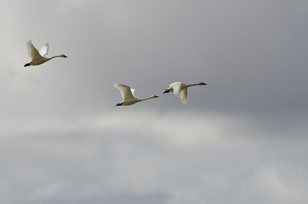 tundra swan: Three Tundra Swans Flying in a Cloudy Sky