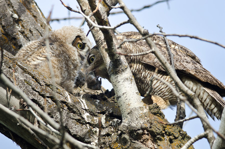 captured: Adult Great Horned Owl Passing Captured Rodent to Young Owlet Stock Photo