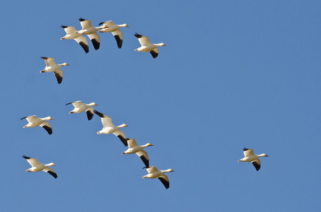 geese: Flock of Snow Geese Flying in a Blue Sky