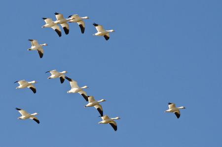 ocas: Multitud de los gansos de nieve volando en un cielo azul