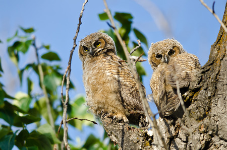 eye contact: Two Young Owlets Making Direct Eye Contact From Their Nest