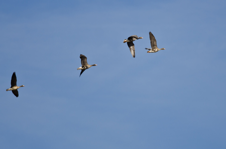 speckle: Flock of Greater White-Fronted Geese Flying in a Blue Sky