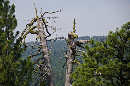 Remains of Two Dead Pine Trees Standing in the Pine Forest